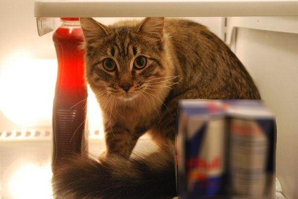 Картинки котов в холодильниках