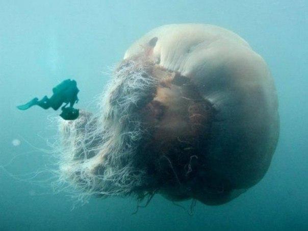 Арктическая цианея–самая большая в мире медуза