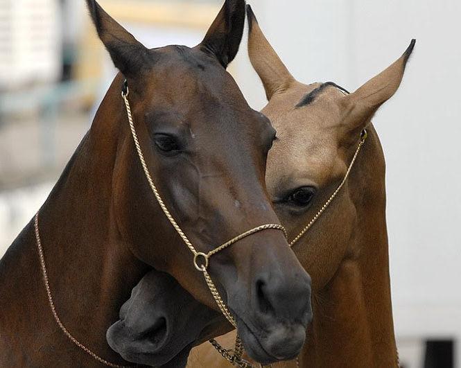 Невероятно красивые лошади. Фото