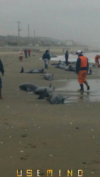 150 дельфинов выбросились на берег Японии