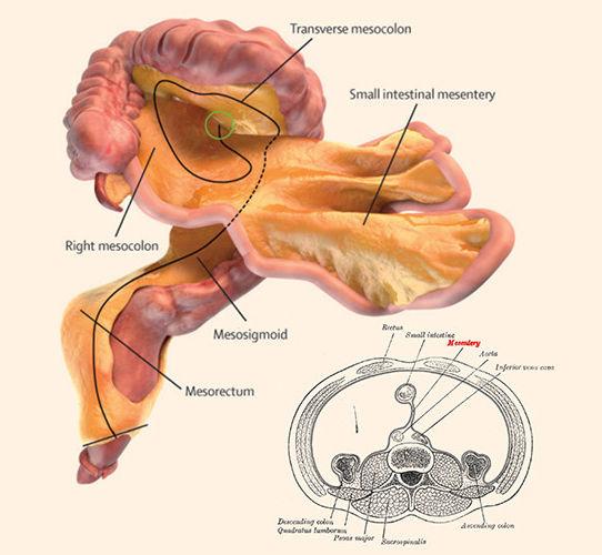 Ученые обнаружили новый человеческий орган